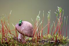 Bla Bla Land (Vie Lipowski) Tags: picnicbeetle sapbeetle beerbeetle beerbug 4spottedsapbeetle glischrochilusquadrisignatus mushroom toadstool moss beetle insect bug pest wildlife nature macro