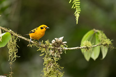 Chestnut Breasted Tanager (Tangara arthus) perched on a branch (Chris Jimenez Nature Photo) Tags: chrisjimenez tours tangaradorada colombia costarica wildlife tanagers nature photography birds birding tangaras tangaraarthus cali chestnutbreastedtanager tangaragyrola