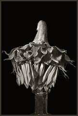 Sunflowers #53 2017 (hamsiksa) Tags: plants flora vegetation flowers blossoms blooms asteraceae sunflowers helianthus blackwhite botany botanicals abstract abstraction silllife stilllife studio studioshot studiophotography nature