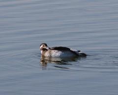 Long-tailed Duck, Clangula hyemalis (tripp.davenport) Tags: lakebalmorhea reevescounty tx birds longtailedduck clangulahyemalis