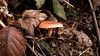 Tawny Funnel (Nick:Wood) Tags: fungus mushroom toadstool knowle solihull towpath leaves winter nature wildlife environment