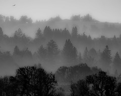 Conifers in the Mist (opheliosnaps) Tags: conifers pine conifer silhouette mist fog mountains hills bird black grey gray white bw blackandwhite impression shadow layers rows