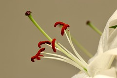 Lily pollen (AngharadW) Tags: stamen flower angharadw lily lilies white dof macro pollen