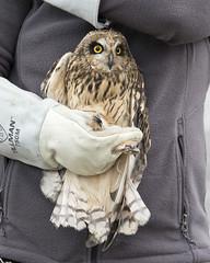 Short-eared Owl - Asio flammeus (Dave Boltz) Tags: asioflammeus shortearedowl owl shorteared bird virginia wildlife outdoors nature canon7dmarkii lakefrederick frederickcounty