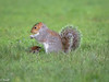 Grey Squirrel in the grass (burnleybornandbred) Tags: grey squirrel nelson victoria park uk nature wildlife england animal greysquirrel victoriapark