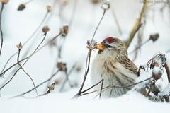 Common redpoll feeding (Dreemeli) Tags: carduelisflammea bird commonredpoll linnut luonto nature urpiainen d7200