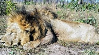 Zimbabwe Cape Buffalo Hunt 72