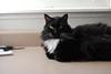 catloaf (Batman) (rootcrop54) Tags: batman male longhair longhaired tuxedo sweet catloaf kitchen counter window pink black neko macska kedi 猫 kočka kissa γάτα köttur kucing gatto 고양이 kaķis katė katt katze katzen kot кошка mačka gatos maček kitteh chat ネコ