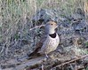 hybrid Northern Red-shafter Flicker and Gilded Flicker (Scott Severn) Tags: ebparksok northern flicker gilded