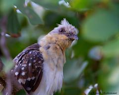 Great Spotted Cuckoo (leendert3) Tags: leonmolenaar wildlife nature birds krugernationalpark southafrica greatspottedcuckoo ngc coth5 npc