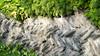 Cornish hedge?!?... (AJFpicturestore) Tags: hedge wall drystonewall cornish cornwall treyarnon alanfoster constantine