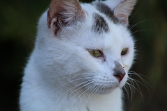 Thinking (excellentzebu1050) Tags: kitten cat closeup pet animal animalportraits farm oudoors coth5