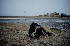 Vik, Iceland (Chris Kreymborg) Tags: travel hiking wanderlust adventure roadtrip outdoors nature animal dog dusk iceland vik winter december bokeh dof depthoffield sony a7ii sonya7ii sonyalpha alpha7ii rokkor 35mm rokkor35
