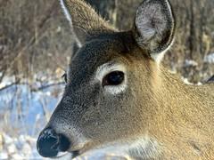 White-tailed Deer mom close-up (benlarhome) Tags: calgary alberta canada bowriver