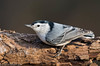 White-breasted Nuthatch (Matt Cuda - www.mattcuda.com) Tags: 2018 nuthatch whitebreastednuthatch bird birdwatching birding birds breasted cling clinging crawl forsythcounty latch log nc northcarolina nut nuts tree white