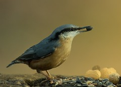 Nuthatch . .the right choice (hardy-gjK) Tags: vögel birds oiseaux kleiber nuthatch nikon hardy natur nature wildlife tiere animals körner grains nuts nüsse light licht animaux