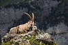 Lord of the mountains (davidbotta) Tags: capricorn mountain alps switzerland rock boulder animal wildlife outdoors nature explored expedition light grass steep dramatic