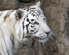 White Tiger (Iñaki San Pedro) Tags: canaryislands islascanarias canarias zoo animal whitetiger tiger tigreblanco tigre puertodelacruz españa spain tenerife loroparque
