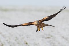 Red Kite Dec 2017 (jgsnow) Tags: bird raptor red kite flight redkite ngc
