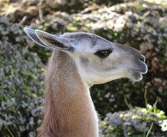 Guanaco (Lama guanico) (ACEZandEIGHTZ) Tags: portrait nikon d3200 lama guanaco camelid southamerica zoo miami zoomiami metrozoo dadecounty fantasticnature guanico coth coth5