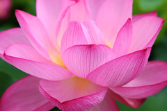 Radhaa Nilia - Goddess Code Academy (RadhaaNiliaWorld) Tags: lotus flower summer pink closeup blossom wet blooming bloom oriental aquatic nature natural botany botanical flora floral season plant fresh japan tokyo asia floating beauty beautiful garden park water nelumbo nucifera pond tropical outdoor religion sacred petal tranquil serenity peace radhaanilia goddess code academy activations goddessactivations goddesscodeacademy author book love speaker healer healthy