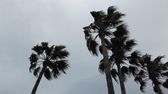 DSCF0649 (rugby#9) Tags: andalucia spain costadelsol fuengirola palmtrees palm trees cloud clouds plant palmtree outdoor greysky windy