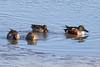 Northern Shovelers....6O3A4618A (dklaughman) Tags: shoveler ducks bombayhooknwr delaware