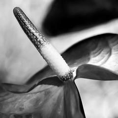 Anthurium Square (the hopeful pessimist) Tags: bw anthurium flower lily flora close up phallic square contrast kontrast natur leaf texture light shadow