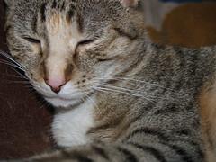 twix (lorablong) Tags: twix cat pet westhollywood california