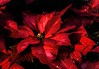 Poinsettia (Wes Iversen) Tags: annascrippswhitcombconservatory bellislepark belleisle christmas detroit michigan poinsettias tokina100mmf28atxprod bracts flora leaves plants red painterly digitalart