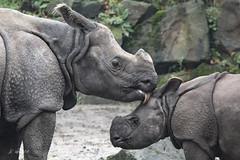 Mother with child (K.Verhulst) Tags: indischeneushoorn indianrhino rhino neushoorn blijdorp diergaardeblijdorp rotterdam