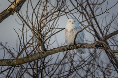 Perching Snowy (murf50) Tags: ontario owensound paulmurphy bird birds birdsofprey feathers nature owl raptor snowyowl wildlife wingsfeathers