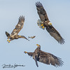3 Eagles with Fish (mikeyasp) Tags: eagles bald eaglesflyingfightingfishnatureoutdoorshaliaeetus leucocephalusraptorsbirds prey