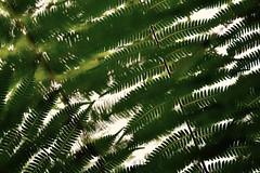 Singapore Botanical Garden (Zee Jenkins) Tags: flowers botanicalgarden fern spores abstract layers
