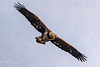Juvinile Bald eagle (mayekarulhas) Tags: darlington maryland unitedstates us juvinile bald eaglebald canon canon500mm canon1dxmark2 canon14converter conovingo wildlife wild bird avian raptors