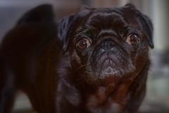 Albert (hankp67) Tags: cute dog pug