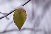 A mix of seasons (Irina1010_out for sometime) Tags: leaf twig snow snowing green yellow white bokeh nature december2017 canon coth5