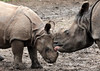 indian rhino Namaste and Karuna Blijdorp BB2A0538 (j.a.kok) Tags: rhino rhinoceros indischeneushoorn indianrhinoceros pantserneushoorn neushoorn blijdorp namaste karuna mammal asia azie zoogdier dier animal moederenkind motherandchild