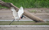 Jabiru (tickspics ) Tags: amazonbasin ciconiidae jabiru jabirumycteria peru southamerica storks tropicalrainforest manú manúbiospherereserve manúnationalpark manúriver