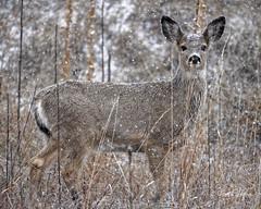 Mule Deer Yearling Out In Snow (dcstep) Tags: dsc7197dxo muledeer yearling sonya7riii fe100400mmf4556gmoss fe14xteleconverter deer mammal snow snowing cherrycreekstatepark colorado aurora allrightsreserved copyright2017davidcstephens dxophotolab captureone