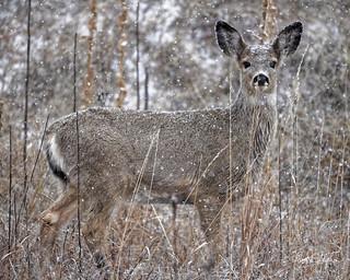 Mule Deer Yearling Out In Snow
