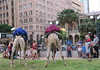 yes there is a fence in there somewhere (Grenzeloos1) Tags: camels brisbane city christmas 2017