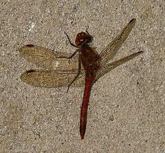 Le dernier ? / The last ? (zogt2000 (No Video)) Tags: sympetrummeridionale dragonfly libellule douarbrioloch plomeur