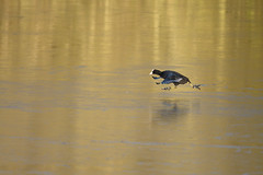 Coot in full flight across the ice (rtatn8) Tags: maplelodgenr hertfordshire england uk wildlife bird coot fulicaatra