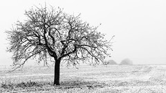Tales In White (TablinumCarlson) Tags: europa europe deutschland germany brd nrw eifel nordrheinwestfalen leica dlux 6 nationalpark rhinewestphalia naturpark baum tree nature natur feld field winter eis schnee snow cold kälte kalt weichzeichner softfocus highkey nürburgring hoheacht einzelnerbaum singletree rheinlandpfalz rhinelandpalatinate rhineland palatinate mountain berg ahrweiler mayenkoblenz higheifel hocheifel naturschutzgebiet nebel fog mist weis white schwarzweis schwarz black sw