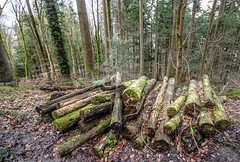 Old wood (allybeag) Tags: woods hogmanay salefell bassenthwaitelake path trees forest woodpile logs rotted