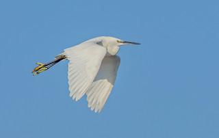 DSC1326  Little Egret..