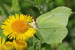 Brimstone (Gonepteryx rhamni ) 130817 (3) (Richard Collier - Wildlife and Travel Photography) Tags: wildlife naturalhistory macro closeup insects butterflies brimstone ngc naturethroughthelens