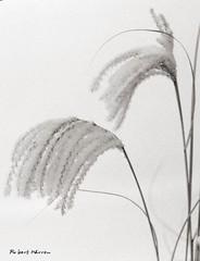 Graminées en hiver (Argentique) / Miscanthus grass in winter (Film) (Pentax_clic) Tags: pentax spotmatic f argentique film nb bw hiver decembre 2017 graminée rollei retro 400s hc110b 8min