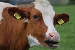 Olympic Skyfall Levi (excellentzebu1050) Tags: livestock dairycows cow cattle closeup farm animal animalportraits farn field outdoor coth5 an